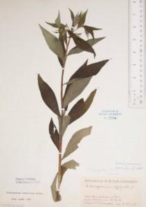 Lithospermum_latifolium