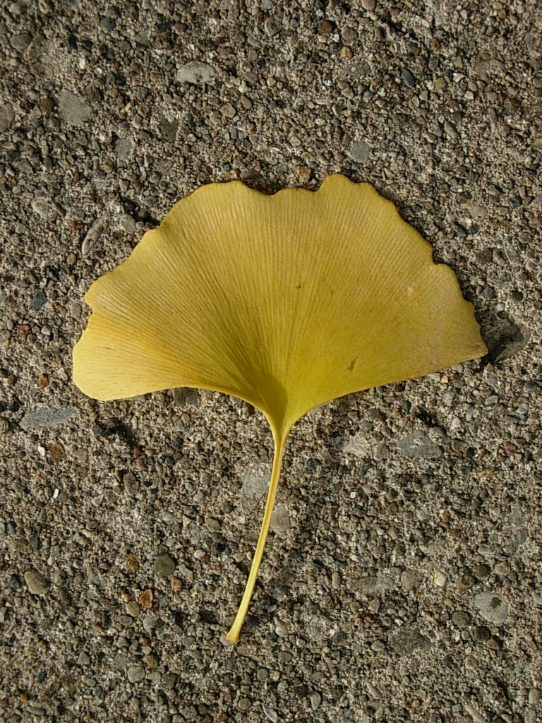 golden gingko trees friesner herbarium blog about indiana plants