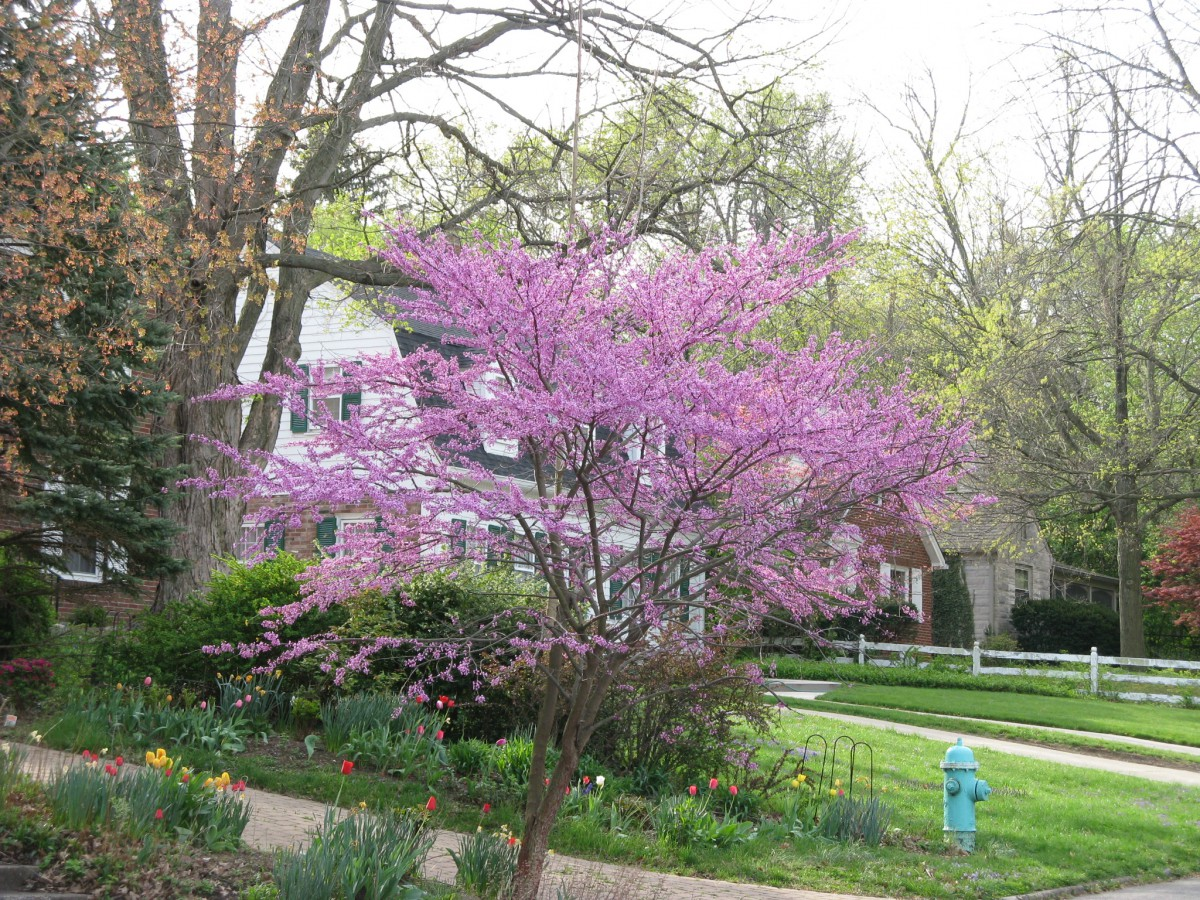 Friesner herbarium blog about indiana plants timely seasonal beautiful redbuds mightylinksfo