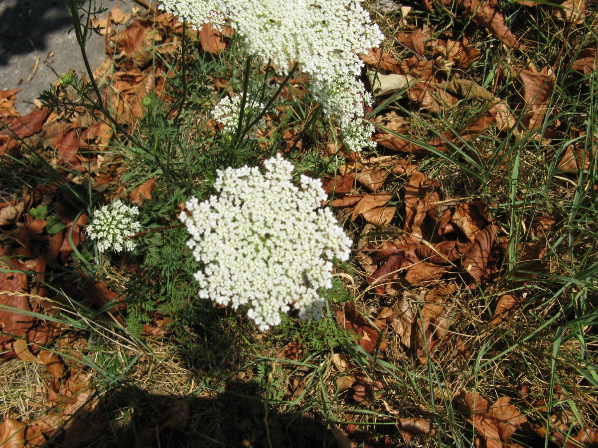 Friesner Herbarium Blog about Indiana Plants | Timely seasonal ...