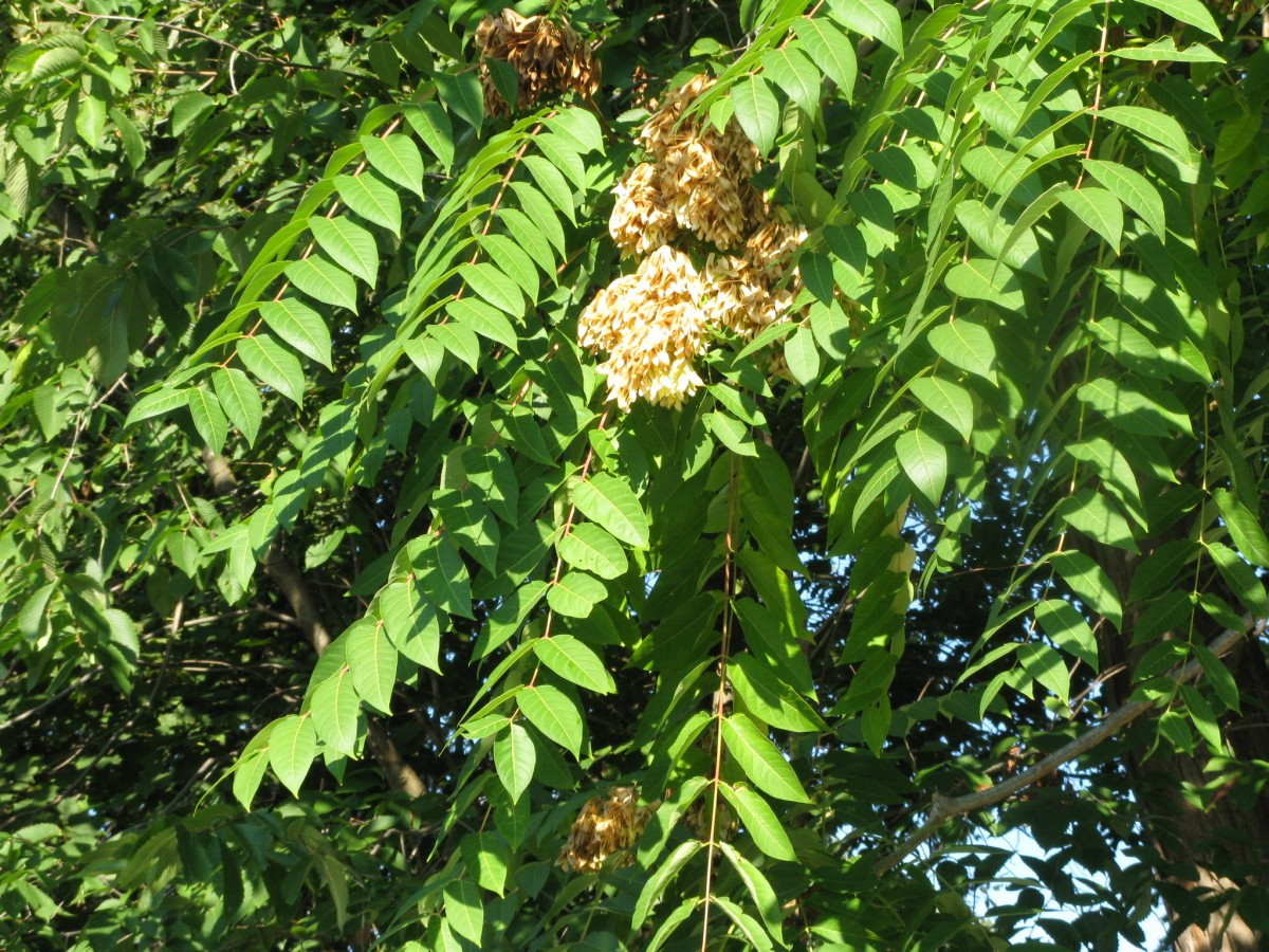 Tree-of-heaven - Friesner Herbarium Blog about Indiana Plants