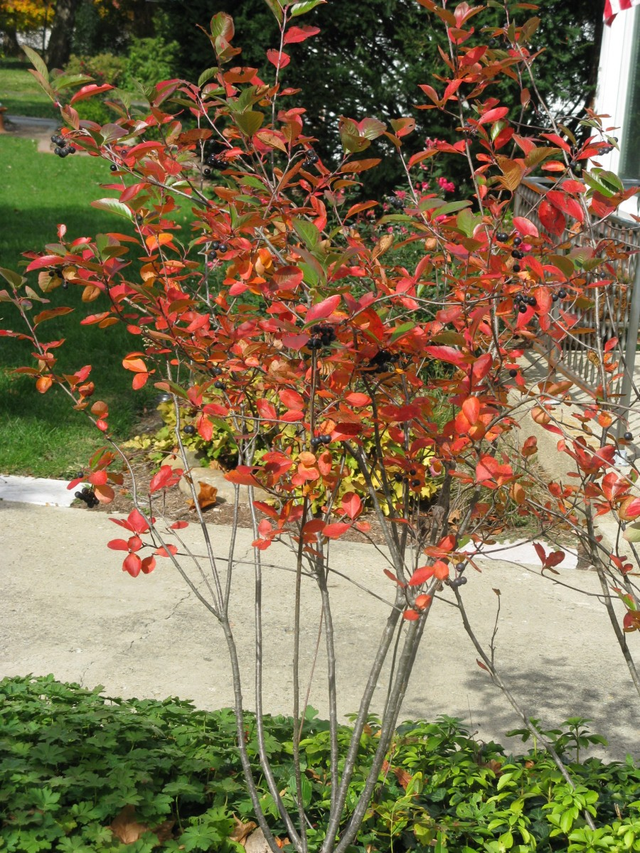 Fall Color 2012 Friesner Herbarium Blog About Indiana Plants