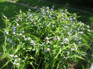 Zigzag spiderwort in my neighbor's sunny garden