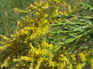 Great bugs on goldenrod
