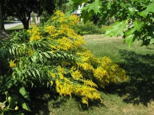 Canada goldenrod in my garden