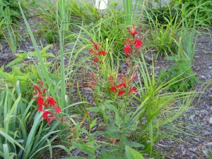 Cardinal flower in bloom.