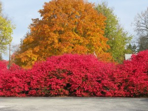 Pretty but invasive Burning-bush