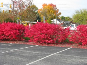 Striking red shrub