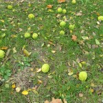 Lots of hedge-apple fruits on the ground